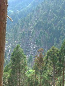 向の山の倒木